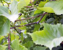Thousands of Acres of Valuable Cognac and Chablis Damaged by Hailstorms