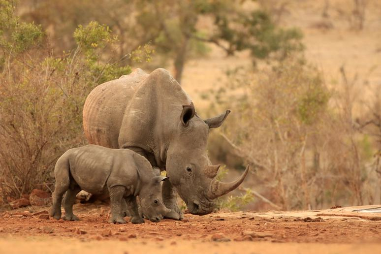 Rhino Mother and Her Baby in the Wilderness