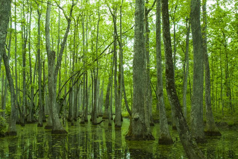 Natchez Trace Cypress Swamp, Mississippi