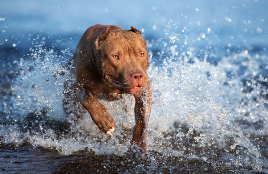 American Pit Bull Terrier From The