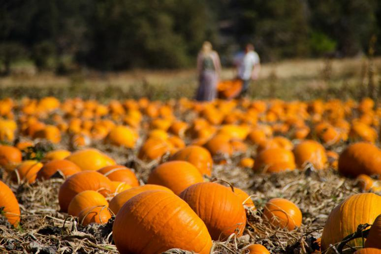 Walk Through a Pumpkin Patch