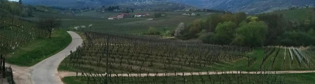 Vines at Domaine Ostertag