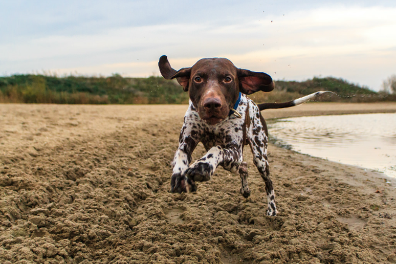 German Shortharied Pointer