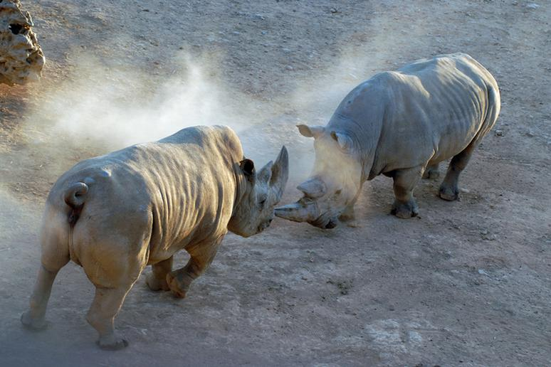 Two Rhinos Fight Among Themselves