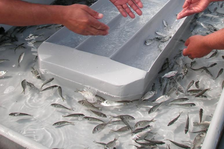 The Fish May Have Been Raised on Antibiotics