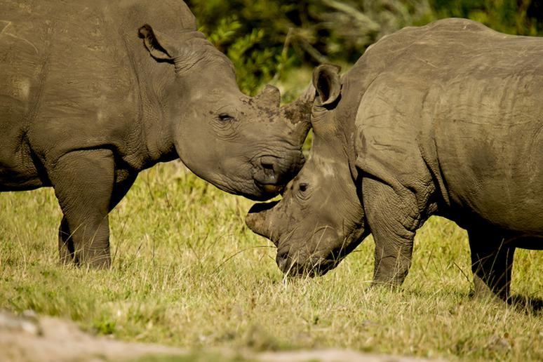 Two White Rhinos Standing and Rubbing Heads