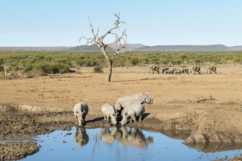 Elephants Are Moving Past Rhinos in Kruger National Park