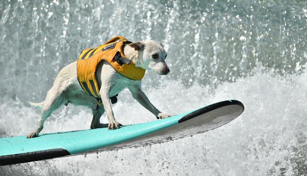 The 24 absolute best surfing dogs
