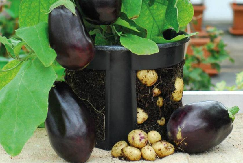 This Plant Grows Eggplants and Potatoes at the Same Time, and It's Non-GMO