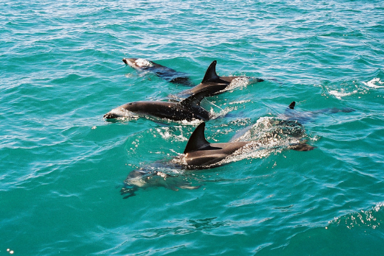 Dolphins in Kaikoura Bay