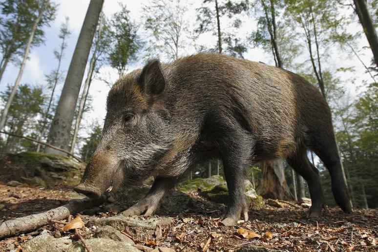 Italy's Chianti Vineyards Are Currently Under Attack by Wild Boars