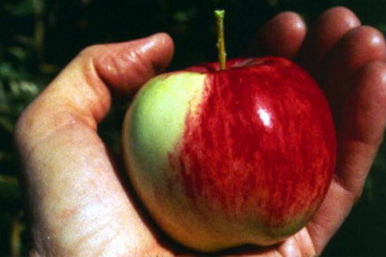 All Modern Apples Have One Common Ancestor