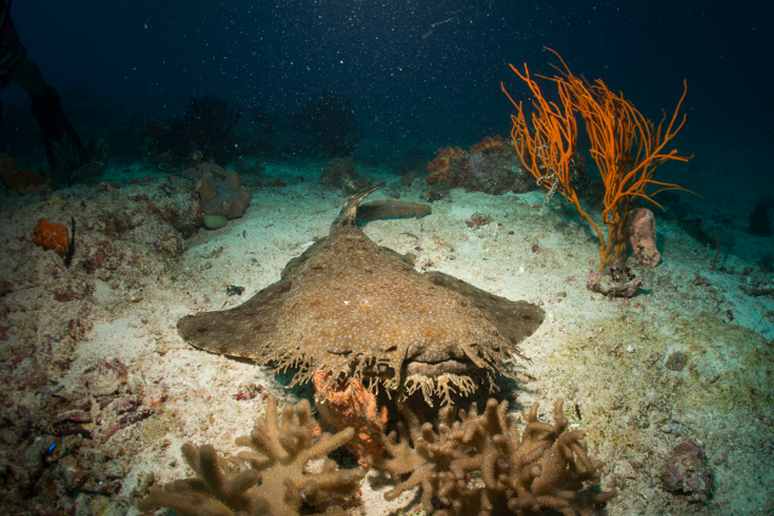 Diving with Wobbegong Sharks at Shelly Beach