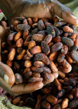 Can Cocoa Help Reverse Age-Related Memory Loss?