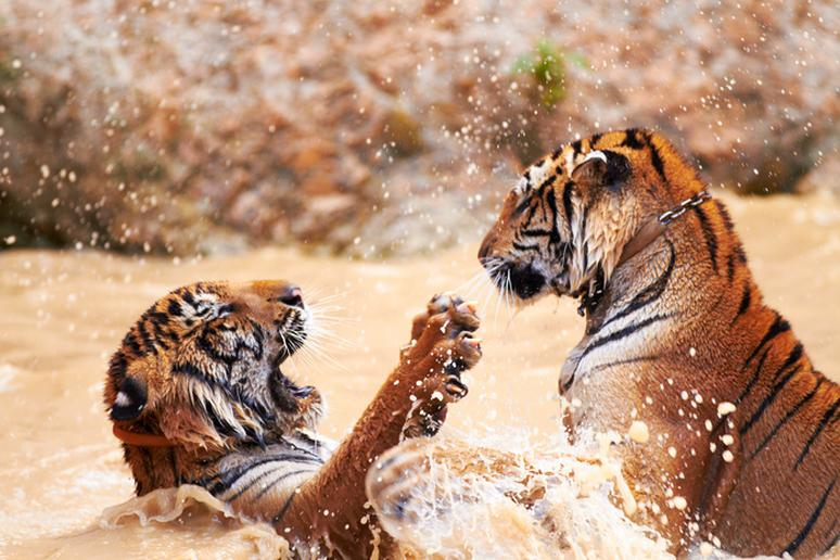 30 Captivating Photos of Tigers