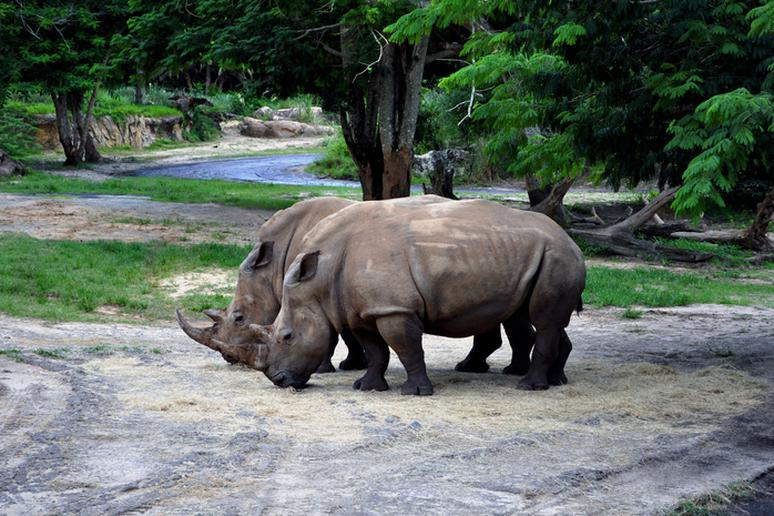 Two Rhinos in the Wild