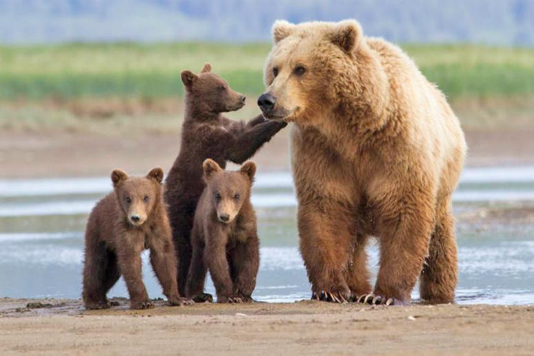 The Great Alaskan Grizzly Encounter