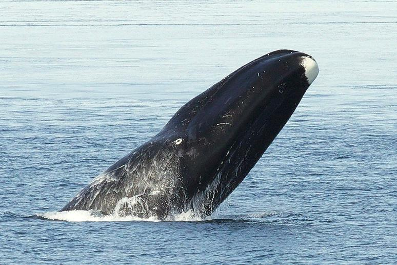 Bowhead Whale — Up to 211 Years