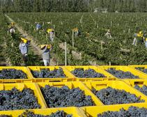 workers picking grapes in vineyard
