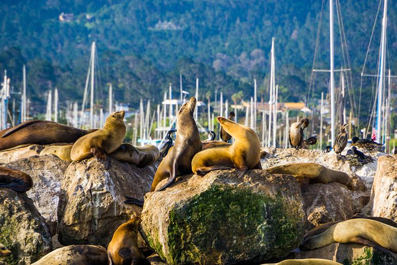 Watch sea lions in Monterey, California