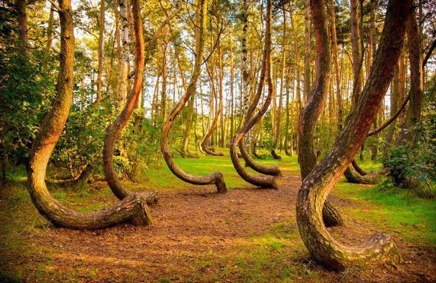 Crooked Forest (Poland)