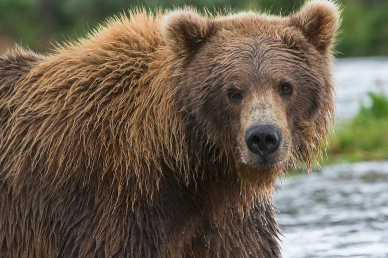 California grizzly bear