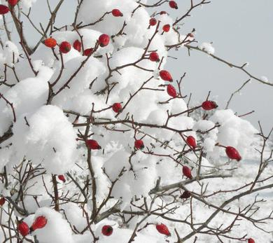 Cranberry Branches