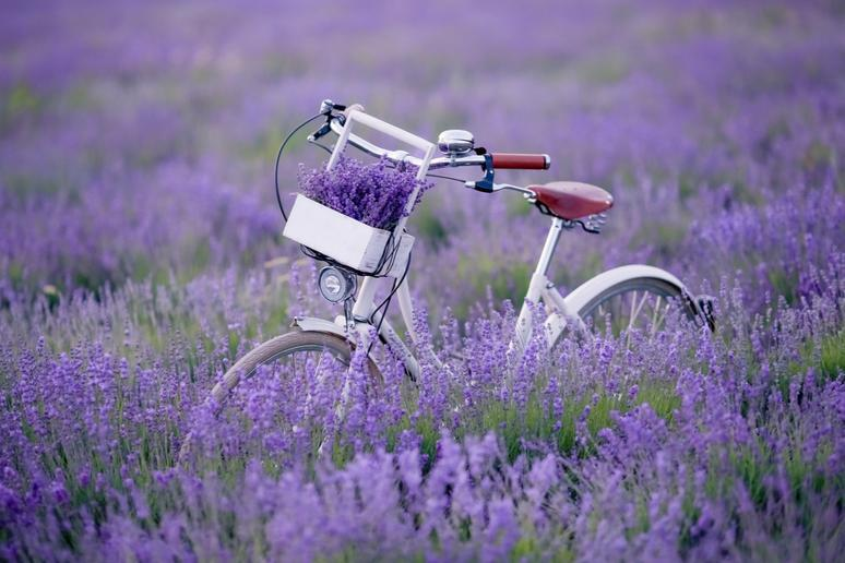 Bike through lavender fields in Provence