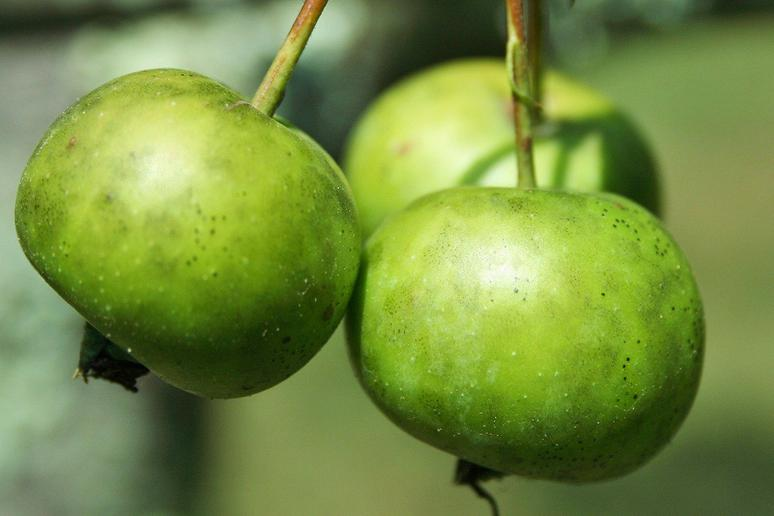 Crab Apples Are the Only Native North American Apples