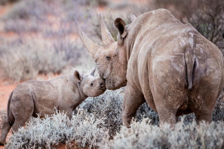A Loving Moment Between a Rhino and Her Baby