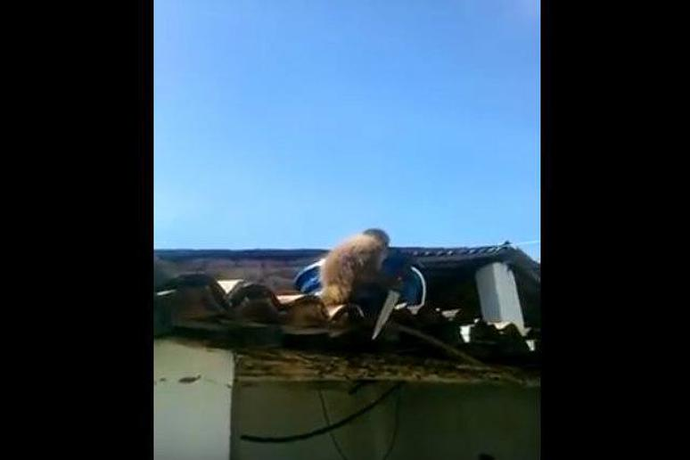 Watch: Drunk Monkey Threatens Bar Patrons With a Knife