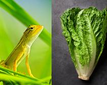 lizard and lettuce