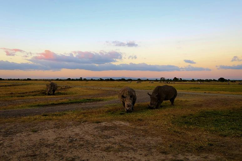 Sunset With a Group of Rhinos in Kenya