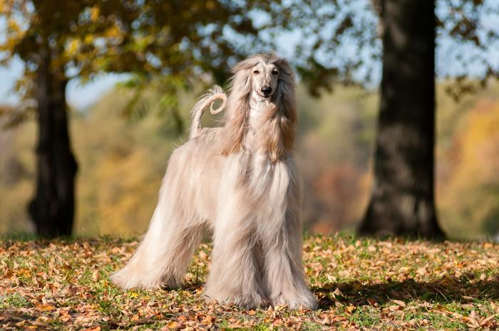 Afghan Hound From The Most Allergy Friendly Pets The Active Times