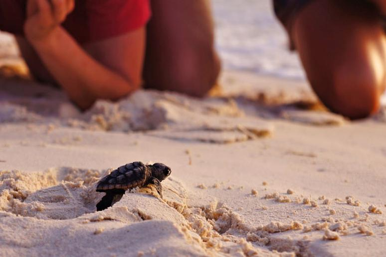 Hatching ideas (and baby turtles) on Singer Island
