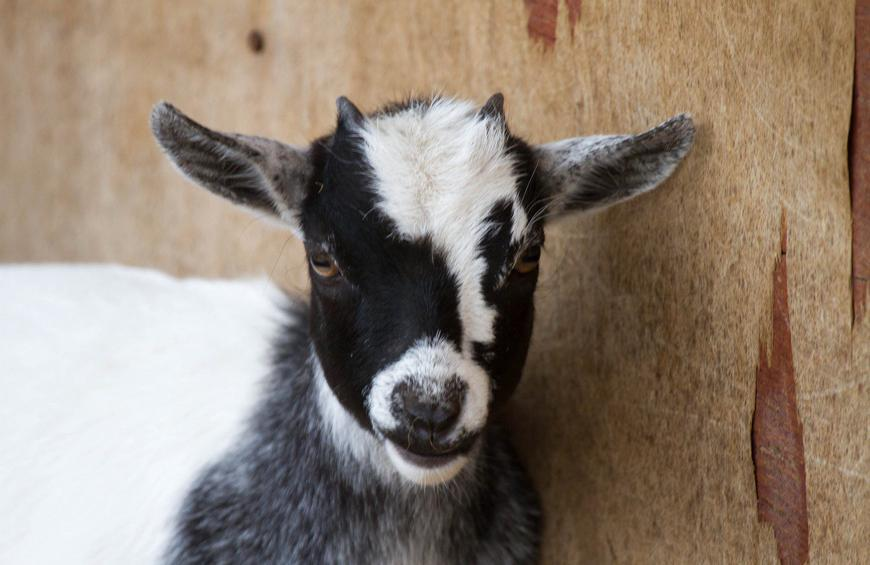 Goat Meat Found in Home of Indian Man Killed Over Rumors